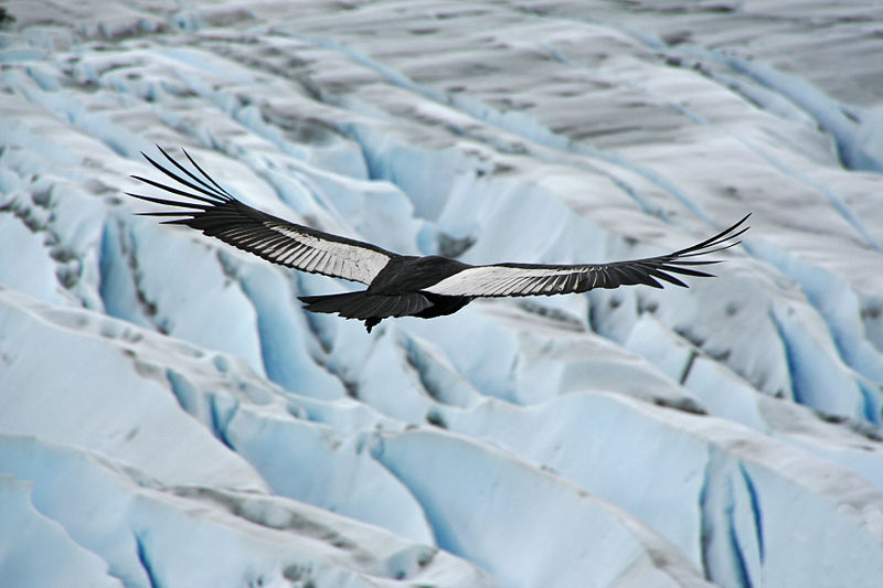 A Condor above the Patagonian ice-fields