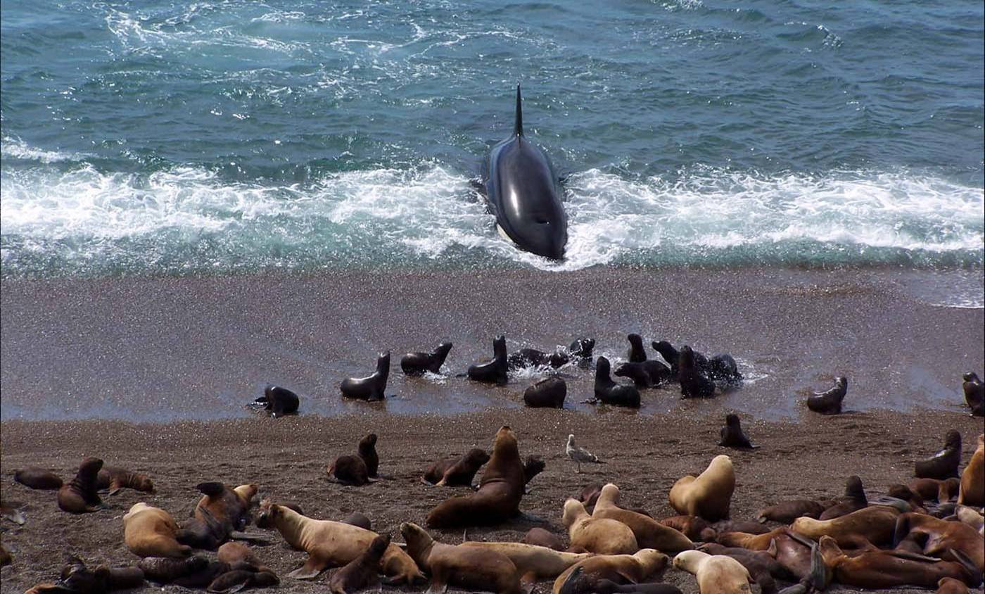 Killer whales hunting, Peninsula Valdes