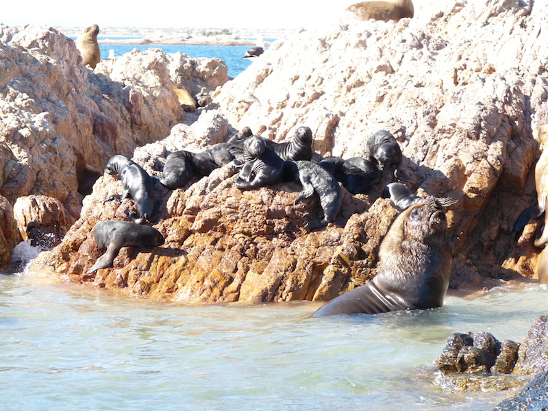 A bull sea lion left in charge of a creche of pups.